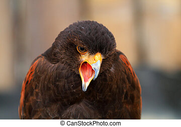 Harris's Hawk (Parabuteo unicinctus