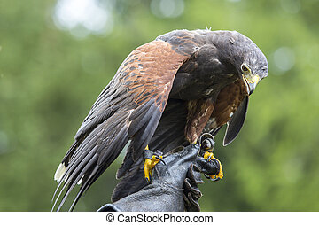 Harris's hawk perched on the hand of a falconer