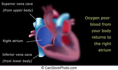 hart, bloed, stroom, leerprogramma