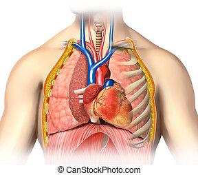hart, lungs., cutaway, anatomie, bloed, man, geweld, aders, thorax, arterias