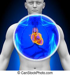 hart, medisch, -, rontgen, scanderen