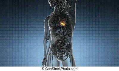 hart, scanderen, wetenschap, gele, anatomie, gloeiend, menselijk