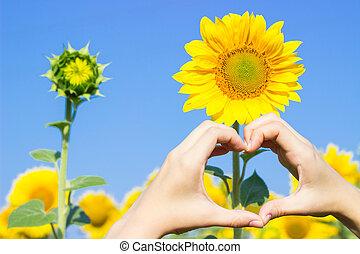 hart, symbool, akker, handen, vervaardiging, sunflowers.