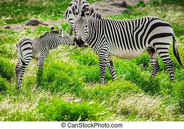 Hartmann mountain zebras - Hartmann's mountain zebra mother...