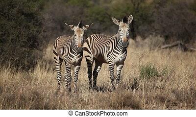 Hartmanns Mountain Zebras