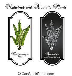 Harts-tongue fern Asplenium scolopendrium , ornamental and medicinal plant. Hand drawn botanical vector illustration
