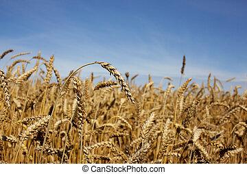 Harvest-2012. Wheat field background.