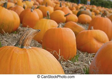Harvest 7031 - pumpkin patch