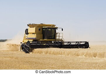 A combine harvests wheat