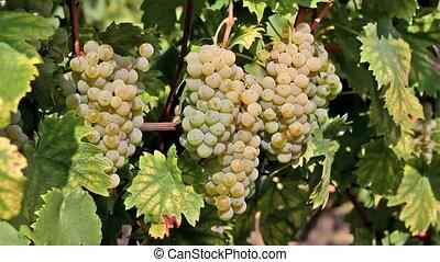 Harvest - Autumn grape harvest