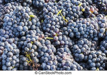 Harvest Bunch Pinot Noir Grapes