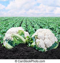 harvest cauliflower on the ground