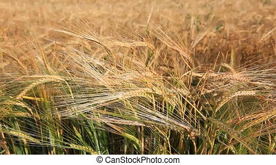 Harvest concept- video of wheat field in the wind