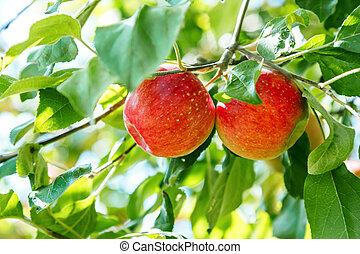 Harvest fruit tree, two red ripe apples hang on a branch in the garden in summer on a sunny day