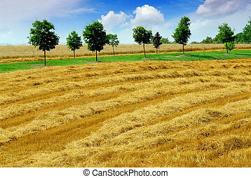 Harvest grain field - Farm field with yellow harvested grain