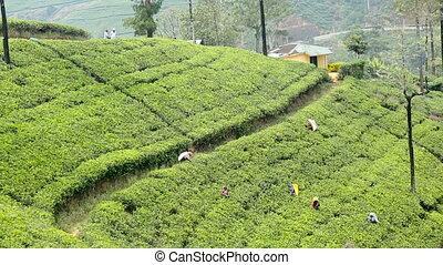 Harvest green tea, srilanka