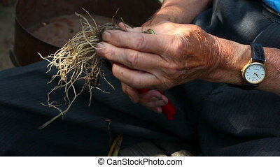 Harvest - Hands of an elderly man, purifying bulb of garlic.