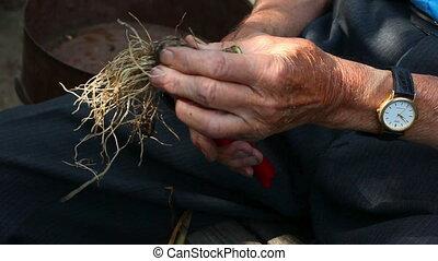 Harvest - Hands of an elderly man, purifying bulb of garlic.