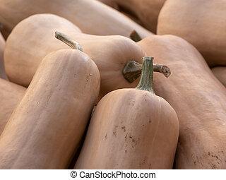 Harvest: Heap of Butternut Squash Pumpkin, Cucurbita moschata