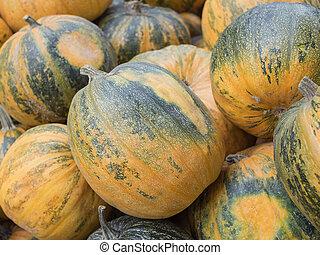 Harvest: Heap of Styrian oil pumpkin, Cucurbita pepo styriaca
