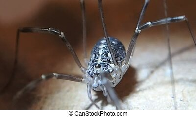 Harvest men arachnid female - A harvest men arachnid female...