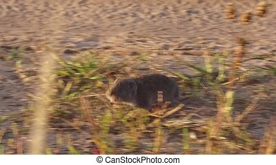 harvest mouse. field mouse runs through the grass in the...
