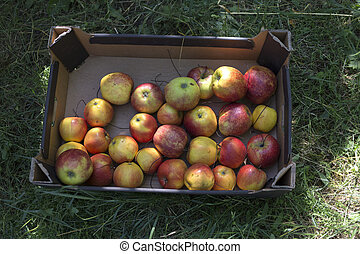 Harvest of apples in the pasteboard box.