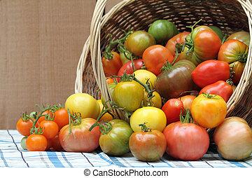 Harvest of freshly picked organic heritage tomatoes