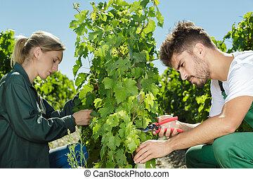 harvest of grape in the vineyard