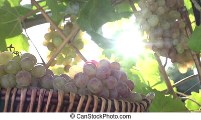 Harvest of Grapes