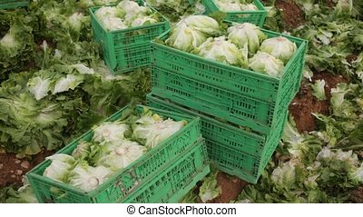 Harvest of green lettuce in crates during harvesting in ...