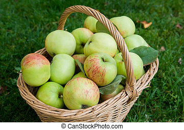 Harvest of ripe apples in a basket on the grass