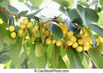 yellow cherries