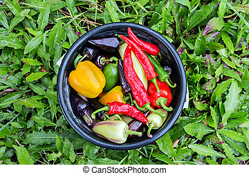 Harvest of sweet bell peppers