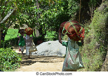 harvest of tea by womans with bags on their head