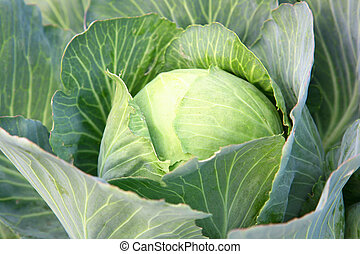 Harvest of the cabbage