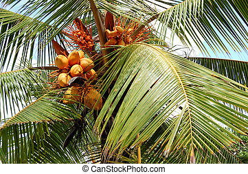 Harvest of the coconut palm with yellow fruits, Bentota, Sri...