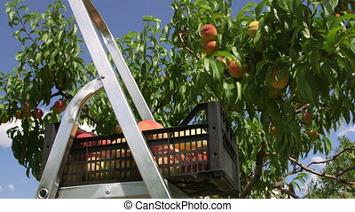 Harvest peaches in the orchard