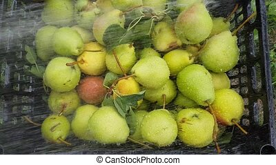 harvest pears wash - The harvest of pears in a plastic...