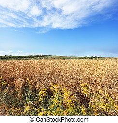 Harvest ripe in a kibbutz in May.  A field of ripe wheat