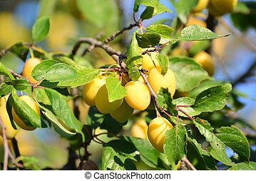 Harvest ripe yellow plums on tree