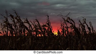 Harvest Sundown Loop - Cornstalks wave in the wind...