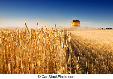 Harvest time - A combine harvester working in a wheat...