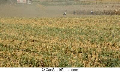 harvest time and white storks