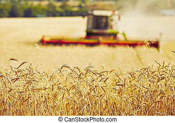 Harvest time - Combine harvester on the wheat field during ...