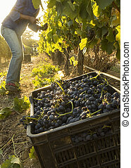Harvest time in the Winelands - A grape picker harvesting...
