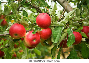 Harvest time. Mature red apples on branch