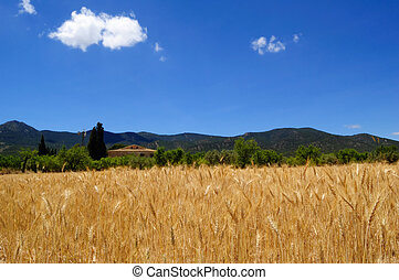 Ripe wheat and blue sky, harvest time in Spain