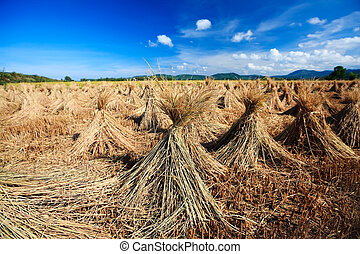 Harvest time - rural landscape with rice field and collected...