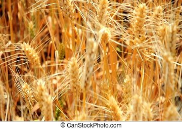 harvest wheat 1